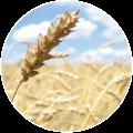 culturi/cereale-paioase/