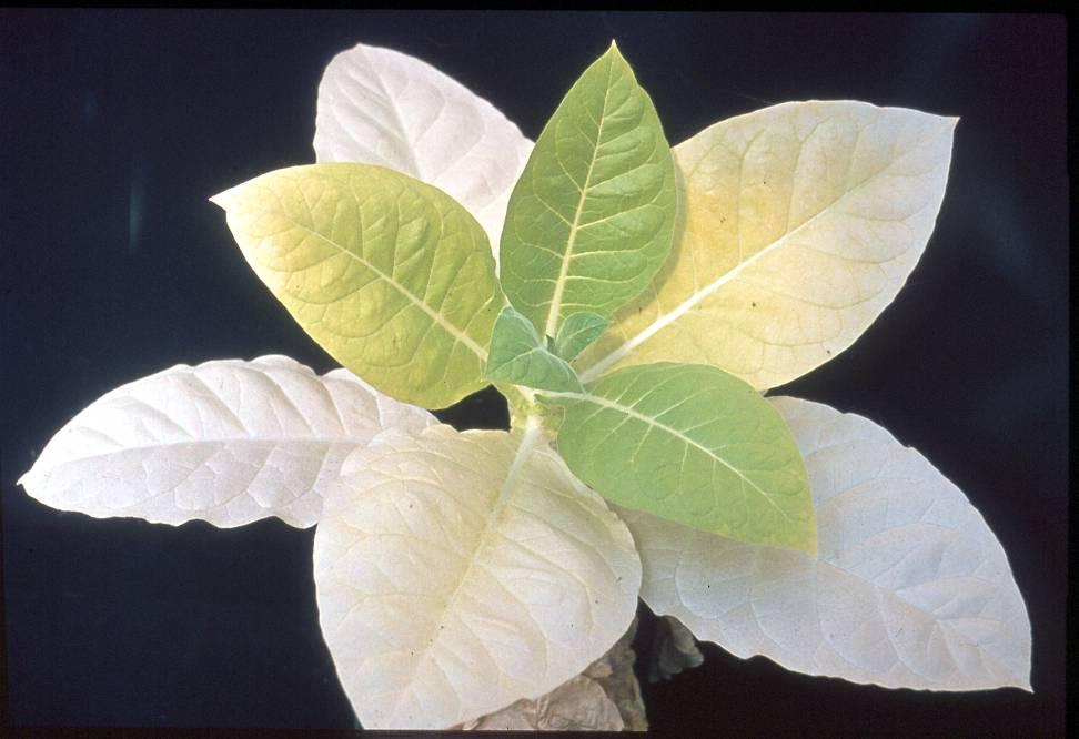 semnele carenței azot plante