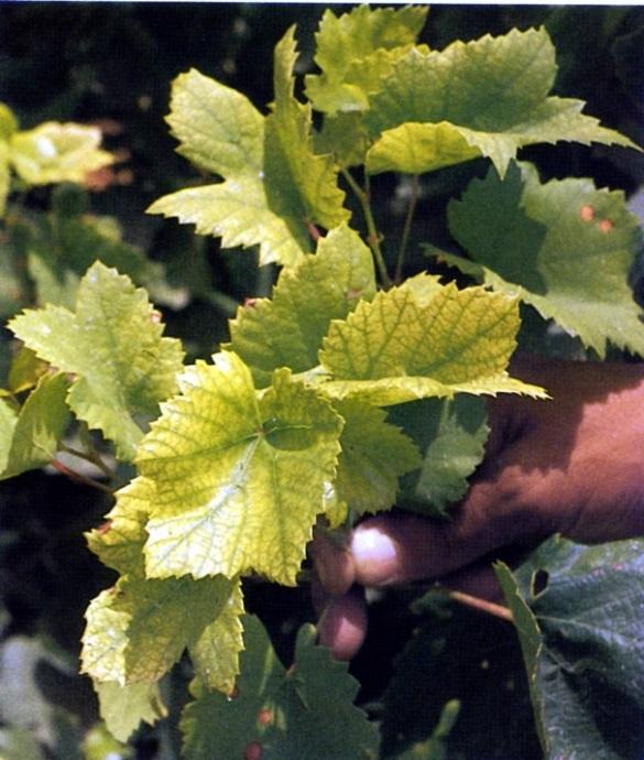 semnele carenței zinc plante