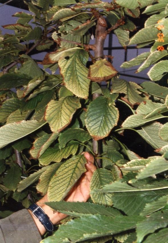 semnele carenței fier plante
