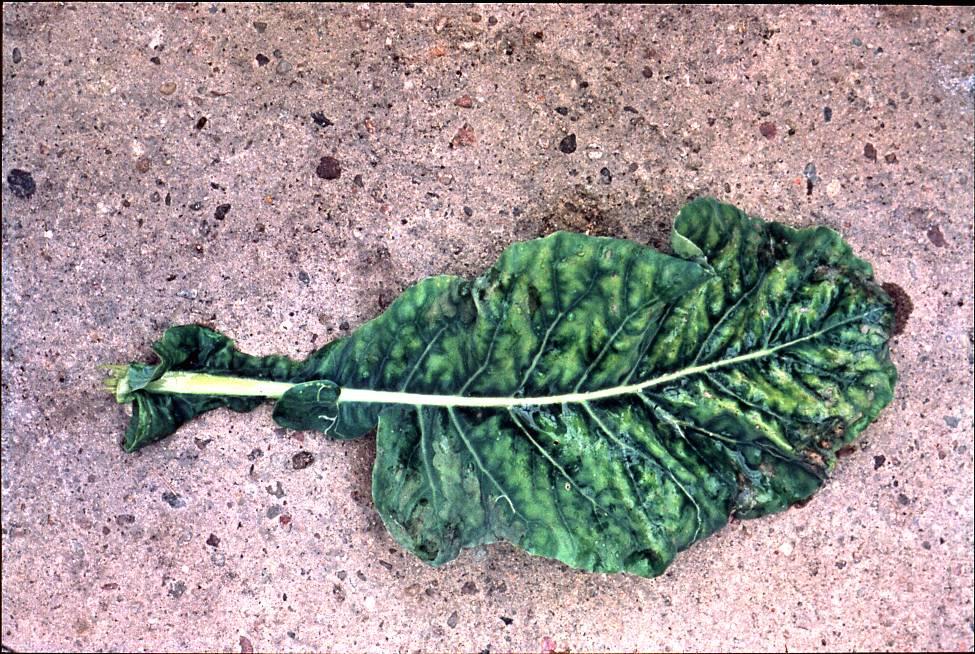 semnele carenței magneziu plante