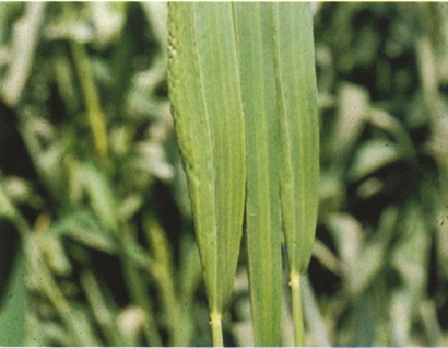 semnele carenței mangan plante