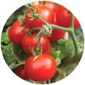 culturi/tomate/